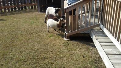 Escape artist goat