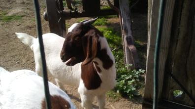 Adorable goats