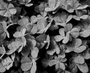 clovers-away