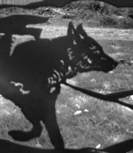 pagodasdreamwolfcanine2017